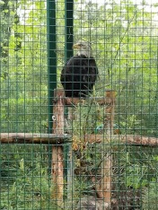 Wildlife Refuge - Bald Eagle